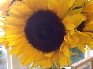 Flower - Sunflower - Giant Single Yellow - 50 Seed - Economy
