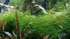 Java Moss Aquatic Live Aquarium Plant 2 Oz. cup Buy2 Get 1 Free