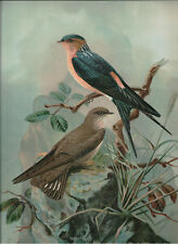Naumann 1905 Naturgeschichte der Vogel Red-Rumped Swallow