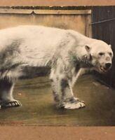 Postcard, Polar Bear, Zoo Series, Animals, Bears Vintage London England P33