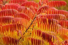 Staghorn Rhus Typhina-al zumaque - 25 semillas-Árbol Ornamental