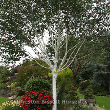 Betula Utillis Jacquemontii Silver Birch Tree 12 litre Pot Tree U K Grown