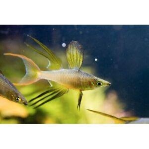 Threadfin Rainbow Live Tropical Freshwater Aquarium Fish Tank Rainbows