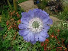 30 X SEEDS  SCABIOSA BLUE PERFECTION (PINCUSHION ) PERENNIAL