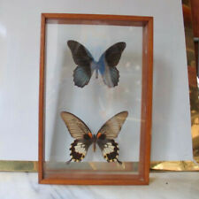 Real framed butterfly Display Rare Insect Taxidermy Real Spot Swordtail Butterfly Display