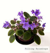 African Violet Falling Raindrops - Start Plant/Plug