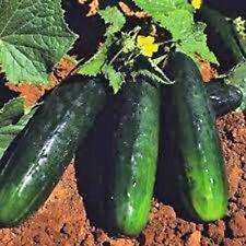 Straight Eight Cucumber 50 seeds Garden Seeds 2u