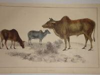 C1850 Goldsmith Cuvier Estampado ~ Comunes Zebu Masculino Femenino