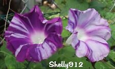 Purple Blizzard Japanese Morning Glory - ipomoea Nil - 8 fresh seeds - Beautiful