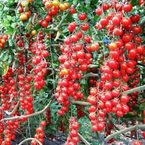 Seeds Tomato Grape Red Cherry Early Vegetable Organic Heirloom NON-GMO