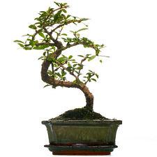 Bonsai Carmona Fukien Tea Indoor House Plant in 15cm Pot (30-40cm Incl. Pot)