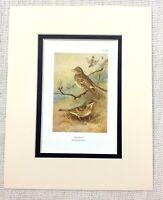Vintage Uccello Stampa Albero Pipit Prati Pipit Art Thorburn's Uccelli Ca. 1929