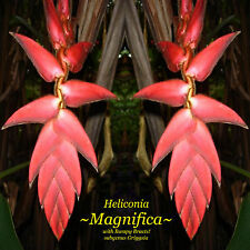 """Heliconia ~MAGNIFICA~ (Bumpy Bracts)  Griggsia Species Live plant 24-36"""""""