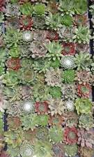 New listing 12 Hens & Chicks - Mix Variety-Hardy- Succulent live plant- Sempervivum Tectorum