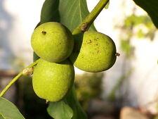 JUGLANS REGIA vq  Noce comune Noce domestico Walnut pianta plant