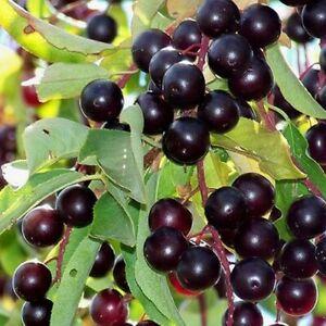 Chokecherry Tree Seeds (Prunus virginiana) 25+Seeds
