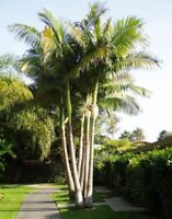 King Alexander Palm Live Plant Potted Triple Stem 6-10 Inches 1-2 Years Old