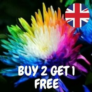 20 x Rainbow Chrysanthemum Seeds SHOW STOPPER Stunning Garden Plant UK Seller