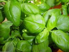 100% Naturreines Ätherisches  BASILIKUMÖL (Ocimum basilicum), Comoren, 10 ml