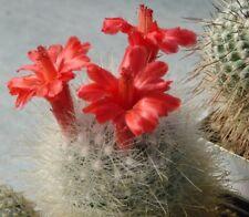Mamilopsis Senilis (10 SEEDS) Rare Cactus Samen Korn Semi Graine 種子 씨앗 Семена