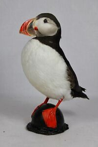 Puffin, #5, Taxidermy, Atlantic, nature, real, authentic, hand made.
