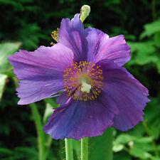 Lila Schein-Mohn • 20 Samen/seeds •Meconopsis baileyi 'Hensol Violet'•winterhart