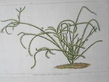 Cereus Parafiticus Cierge  Forme de FOUET GRAVURE ORIGINALE botanique XVIIIéme