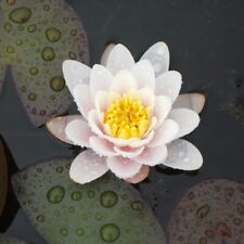 LIVE Pink Deep Water Lily Pond Plant Nymphaea Marliacea Carnea Bare Rooted