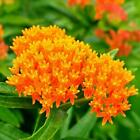 Butterfly Milkweed Flower PERENNIAL Fall Planting Monarch Host Plant 25 Seeds!