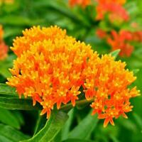 Butterfly Milkweed Flower (Asclepias tuberosa) Host Plant Monarch 35 Seeds!