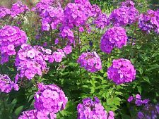 10 Tall PURPLE PHLOX Paniculata Garden Summer Native Hummingbird Flower Seeds