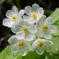 Transparent Flower Seeds Flower Seeds Transparent With The Rain Delicate Rare