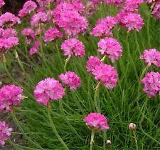Armeria Seeds First Up Rose 50 Flower Seeds Perennial Garden Leader