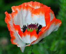 200 Samen Türkischer Mohn (Papaver orientale), Farbmischung, Blüten bis 15 cm ø