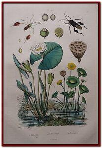 [GRAVURE ] NENUPHAR & INSECTES PLANTE ARBRE Plan d'eau FRIES GUERIN 1838 XIX