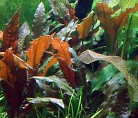 Cryptocoryne Mioya Tissue Culture Freshwater Live Aquarium Plant Crypt Tropica