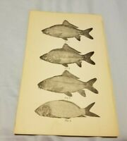1885 Antique Print DIFFERENT TYPES OF CARP In Pennsylvania Fish