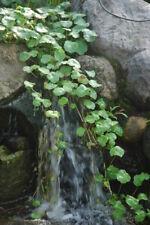 Gotu Kola Hydrocotyle Asiatica Living Aquarium Herbal Water Medical Pond Plant