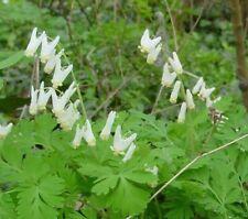 10 Dutchman's Breeches Dicentra cucullaria Premiumi Native roots bulb Wildflower