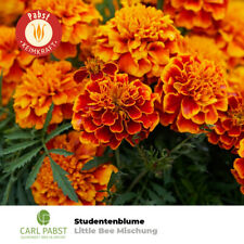 Studentenblume Little Bee Mischung Saatgut 50 Pfl. Blumensamen Sämereien Garten