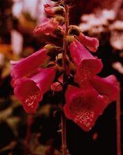 50+ RED FOXGLOVE DIGITALIS FLOWER SEEDS / PERENNIAL