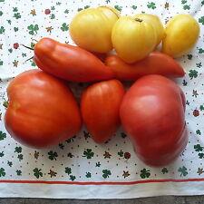 Gelbe Ochsenherz Tomate ,Tomaten Saatgut Samenfest, 10+Stück aus Eigenanbau