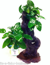 Anubias Nana Jungle Tree Mbuna Med Tropical Live Aquarium Plant  *STUNNING ***
