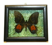 Teinopalpus imperialis. Form mortus. Butterfly in the frame. Very rare!!