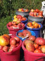 German Variety Frembgens Rheinlands Ruhm Tomato Seeds 2021 Organic 40