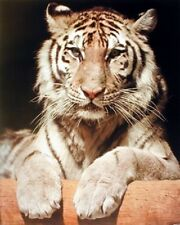 White Bengal Tiger Close-up Wildlife Feline Animal Wall Decor Art Print (16x20)