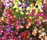 SPURRED SNAPDRAGON TOADFLAX FAIRY BOUQUET Linaria Maroccana - 2,500 Bulk Seeds