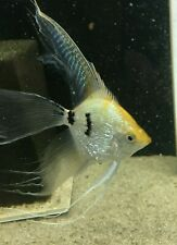 6 Gold Marble Super Veil Angelfish
