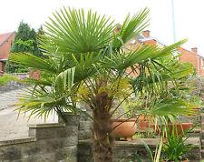 Graines de Palmiers : TRACHYCARPUS FORTUNEI - Résistant -18 °C ! 10 graines et +