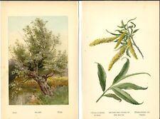 Stampa antica SALICE BIANCO ALBERO foglie botanica Salix alba 1890 Antique print